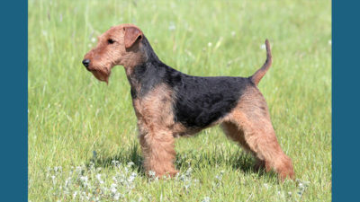 Welsh Terrier 5