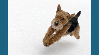 Welsh Terrier 6