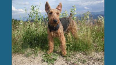 Welsh Terrier 7