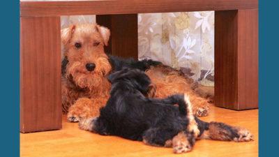 Welsh Terrier 8
