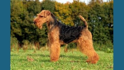 Welsh Terrier 9