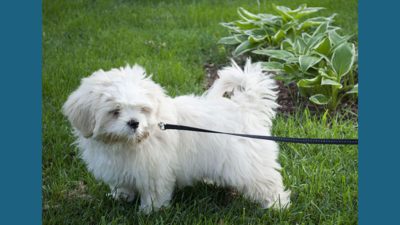 West Highland White Terrier 10