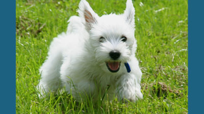 West Highland White Terrier 11