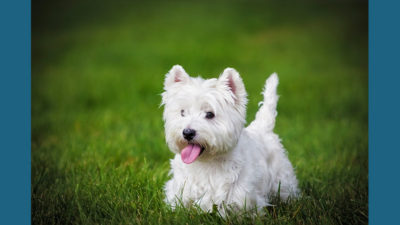 West Highland White Terrier 12