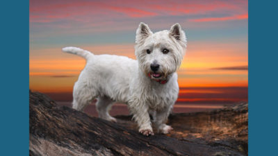 West Highland White Terrier 14