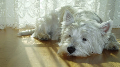 West Highland White Terrier 15