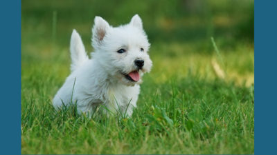 West Highland White Terrier 2