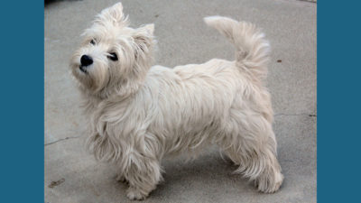 West Highland White Terrier 5
