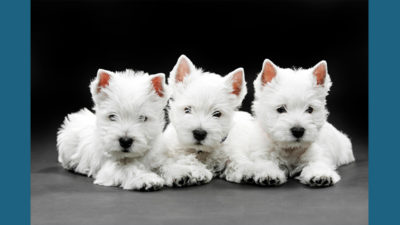West Highland White Terrier 7