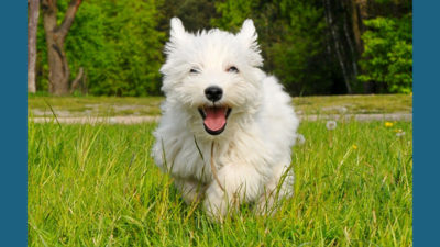West Highland White Terrier 8