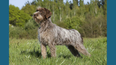 Wirehaired Pointing Griffon 1