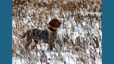 Wirehaired Pointing Griffon 10