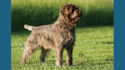 Wirehaired Pointing Griffon 11