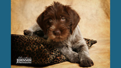 Wirehaired Pointing Griffon 12