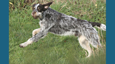 Wirehaired Pointing Griffon 15