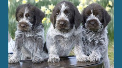 Wirehaired Pointing Griffon 2