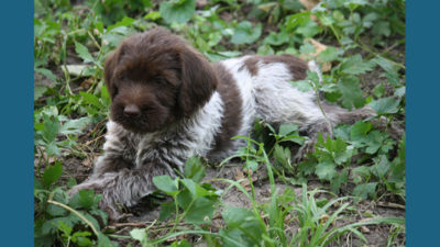 Wirehaired Pointing Griffon 3