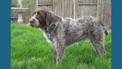 Wirehaired Pointing Griffon 4