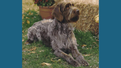 Wirehaired Pointing Griffon 6