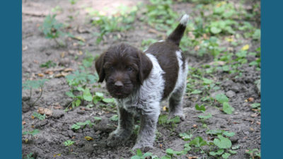 Wirehaired Pointing Griffon 7