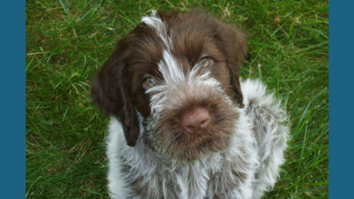 Wirehaired Pointing Griffon 9