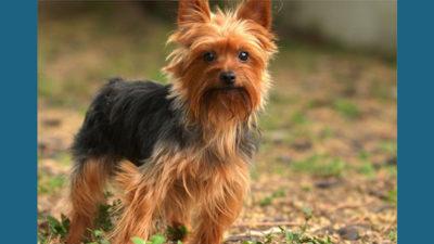 Yorkshire Terrier 11