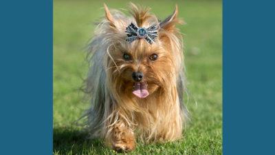 Yorkshire Terrier 12