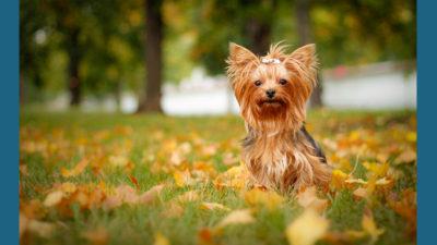 Yorkshire Terrier 13