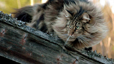 Norwegian Forest 1