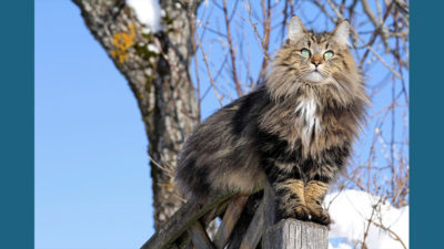 Norwegian Forest 10