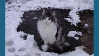 Norwegian Forest 13