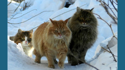 Norwegian Forest 3