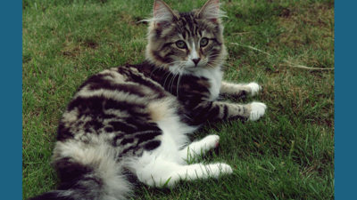 Norwegian Forest 4