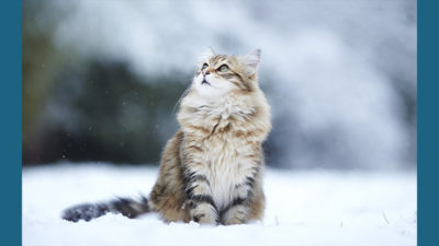 Norwegian Forest 5