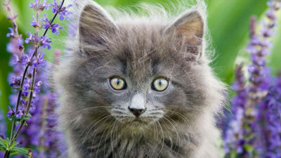 Norwegian Forest 7