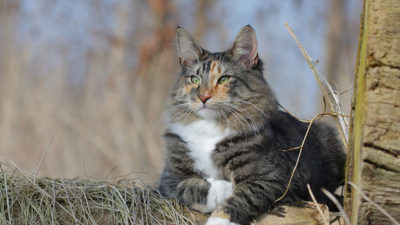 Norwegian Forest 8