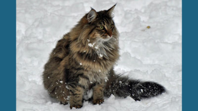 Norwegian Forest 9