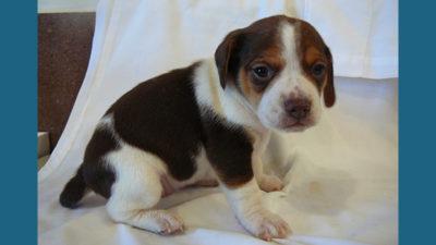 Pocket Beagle 2