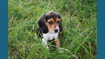 Pocket Beagle 4
