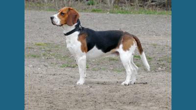 Pocket Beagle 6