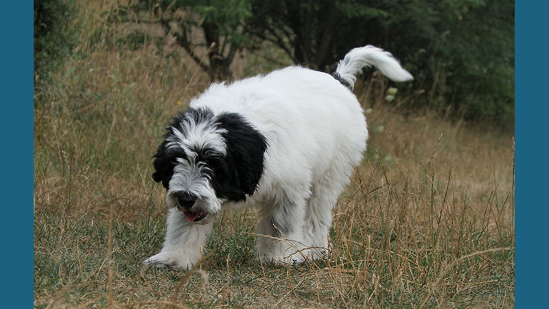Polish Lowland Sheepdog 1