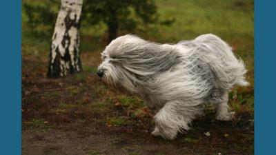 Polish Lowland Sheepdog 2