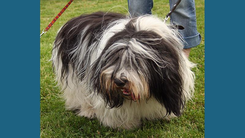Polish Lowland Sheepdog 3