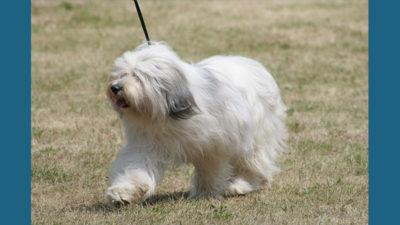 Polish Lowland Sheepdog 4