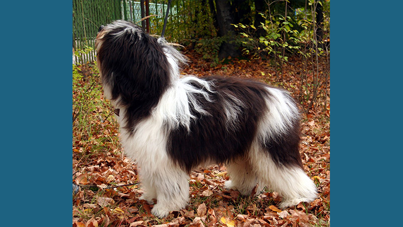 Polish Lowland Sheepdog 5