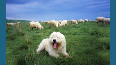 Polish Lowland Sheepdog 6
