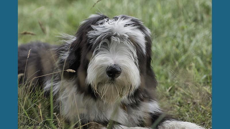 Polish Lowland Sheepdog 7