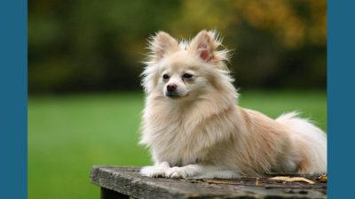 Pomeranian 13
