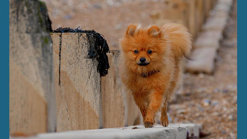 Pomeranian 15
