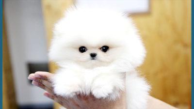Pomeranian 5